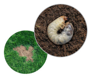 How To Get Rid Of Grubs In Lawn