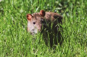 Mice in yard
