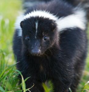Group of skunks