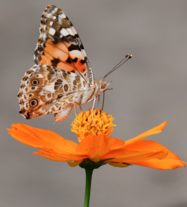 How to make sugar water for butterflies