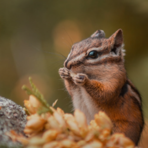 Keep out chipmunks from garden